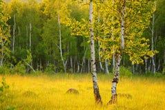 Лес березы Стоковое Изображение RF