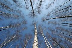 Лес березы стоковые фотографии rf