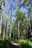 Лес березы Стоковые Фото