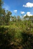 Лес болота в лете с общими cottongrass Стоковая Фотография