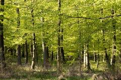 Лес бука весеннего времени датский повсюду стоковое изображение rf