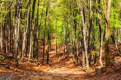 Лес бука в дне лета солнечном Стоковые Изображения RF