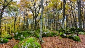 Лес бука в погоде осени, обнаженных деревьях и кровати сухих листьев на пути на том основании Теплые цвета осени в стоковое фото rf