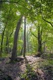 Лес бука, зеленый цвет леса 1 Стоковое фото RF