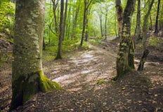 Лес бука, зеленый цвет леса 2 Стоковая Фотография RF