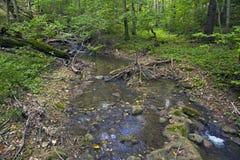 Лес бука, зеленый цвет леса 3 Стоковая Фотография