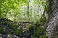 Лес бука, зеленый цвет леса 7 Стоковое фото RF