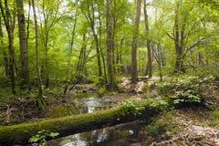 Лес бука, зеленый цвет леса 8 Стоковые Изображения RF