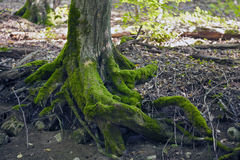 Лес бука, зеленый цвет леса 10 Стоковые Фото