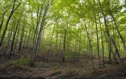 Лес бука, зеленый цвет леса 11 Стоковые Изображения