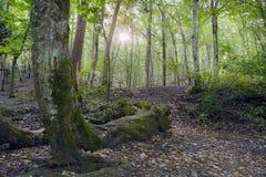 Лес бука, зеленый цвет леса 25 Стоковое Изображение RF
