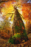 Лес бука золота Стоковое фото RF