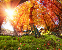 Лес бука золота Стоковое Изображение