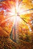 Лес бука золота Стоковая Фотография RF