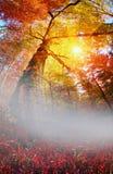 Лес бука золота Стоковые Изображения