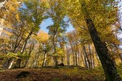 Лес бука с деревьями внутри освещает контржурным светом Сухие листья подлеска Цвета, ветви и хоботы осени без листьев покрывала стоковые фотографии rf