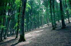 Лес бука стоковые изображения