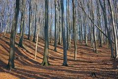 Лес бука Стоковое Изображение