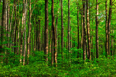 Лес бука Стоковая Фотография RF