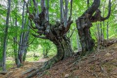 Лес бука Стоковые Изображения RF