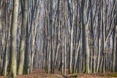 Лес бука Стоковая Фотография