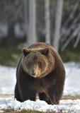 Лес бурого медведя (arctos Ursus) весной Стоковое Изображение RF