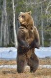 Лес бурого медведя (arctos Ursus) весной Стоковые Фотографии RF
