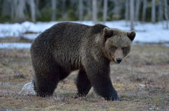 Лес бурого медведя (arctos Ursus) весной Стоковые Фото