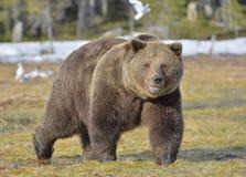 Лес бурого медведя (arctos Ursus) весной Стоковая Фотография