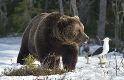 Лес бурого медведя (arctos Ursus) весной Стоковые Изображения