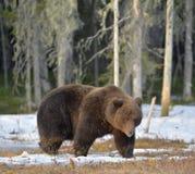 Лес бурого медведя (arctos Ursus) весной Стоковое фото RF