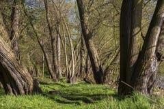 Лес вербы Стоковое Изображение