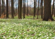 Лес весной с белыми windflowers Стоковые Изображения RF
