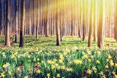 Лес весны покрытый желтыми daffodils Стоковые Фотографии RF