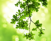 Лес ветви дуба весной Стоковые Фотографии RF