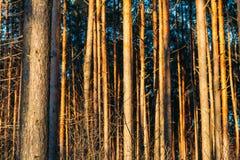Лес восхода солнца захода солнца хоботов сосны предпосылки Стоковые Изображения