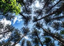 Лес вполне сосен стоковые изображения