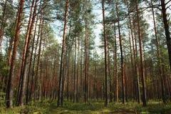 Лес в лете, соснах высоких деревьев и елях и мхе Стоковая Фотография