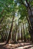 Лес в заливе Hawkes, Новая Зеландия Redwood стоковые фотографии rf