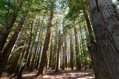 Лес в заливе Hawkes, Новая Зеландия Redwood стоковые изображения rf