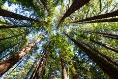 Лес в заливе Hawkes, Новая Зеландия Redwood стоковое фото