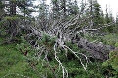 Лес в национальном парке Skarvan и Roltdalen Стоковое Фото