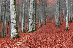Лес в осени с красным цветом выходит на землю стоковые фотографии rf