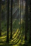 Лес в сумерк Стоковая Фотография