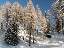 Лес горы в Engadine стоковые изображения rf