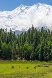 Лес горы и сосны Nanga Parbat, Fairy луг, Pakist Стоковая Фотография