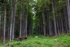 Лес горы Gurguiatu стоковая фотография