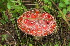 Лес гриба мухомора Стоковые Изображения RF