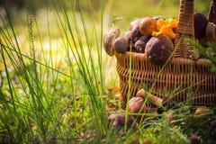 Лес грибов корзины падения польностью съестной Стоковые Изображения RF
