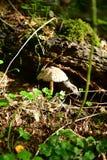 Лес, грибы, сор леса, ватка, конусы, белый грибок около хобота стоковые фотографии rf